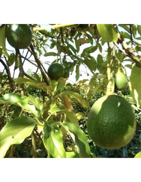 Nyplukkede Hass Avocadoer (4.5-5 kg)