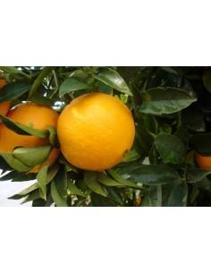DELUXE Appelsiner, 8 kg