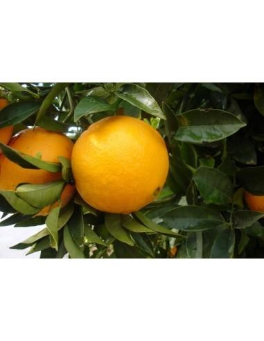 DELUXE Appelsiner (10 kg)
