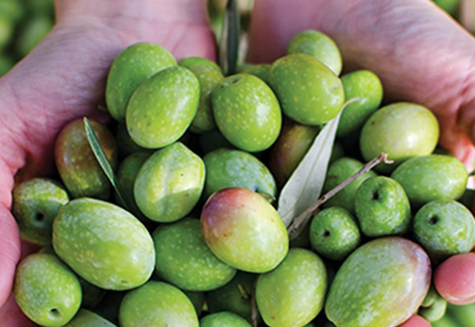 Oliven i høj kvalitet
